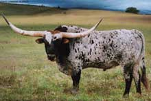 Hunts Command Respect, Longhorn Bull